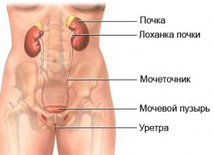 Лечение мочевого пузыря народными средствами