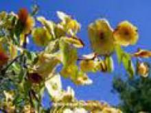 Держи-дерево-колючее: лечебные свойства и применение