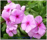 Ядовитое растение барвинок розовый