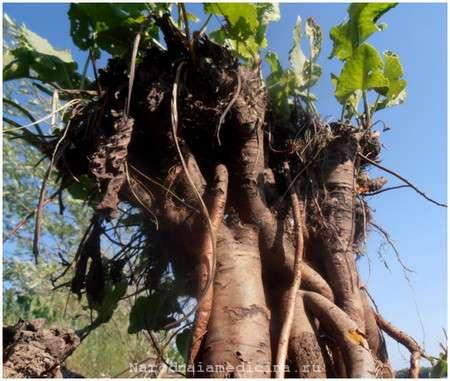 Корни и корневища конского щавеля