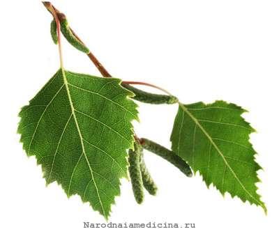 Листья березы. Применение в народной медицине