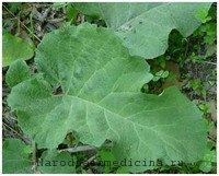 Листья лопуха от фурункула