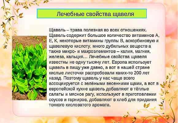 Лечебные свойства конского щавеля