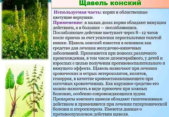 Щавель конский - ботаническая характеристика