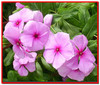 Барвинок розовый, лечение множественной миеломы