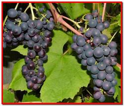 Косточки винограда. Польза. Народные методы лечения