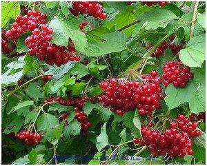 Калина красная. Лечебное применение калины