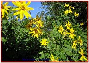 Земляная груша топинамбур: полезные свойства
