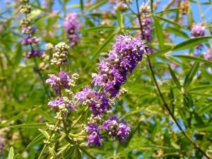 трава витекс священный, народная медицина рекомендует