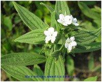 Воробейник краснокорневой - неядовитое растение