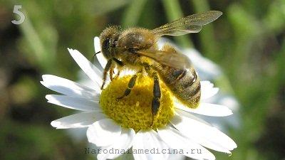Пчела - насекомое, которое может нанести укус