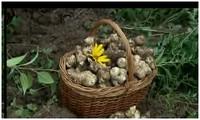 Земляная груша топинамбур