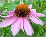 Эхинацея пурпурная - лекарственное растение