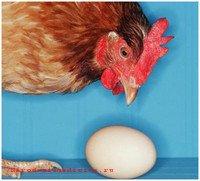 Заражение сальмонеллезом инфицированным куриным яйцом