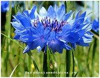 василек синий от уретрита