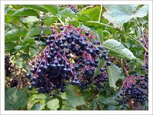 Бузина черная,цветки бузины черной,лечебные свойства бузины черной,народная медицина рекомендует