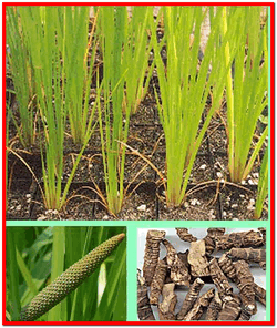 Аир болотный использование в народной медицине