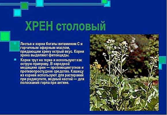 Хрен обыкновенный – содержание активных веществ и используемые части растения