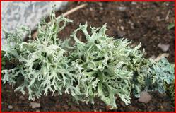 Исландский мох. Лечебные свойства и применение в народной медицине