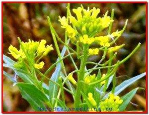 Желтушник серый лечение желтушником